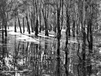 Girraween swamp at dawn B&W