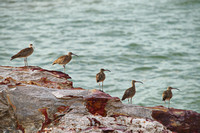 whimbrels east point
